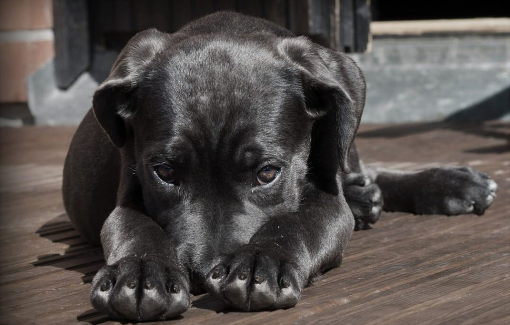 Why do dogs have black nails?